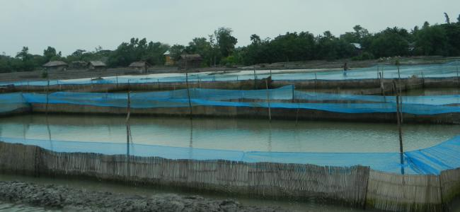 shrimp ponds